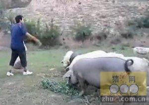 大学生养猪创业山上养土猪三年赚百万