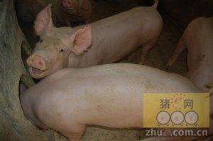 北京汇正种猪:品质好 生长快