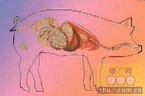 猪常见消化道疾病