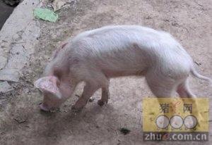 [周]给猪驱虫时应注意的问题