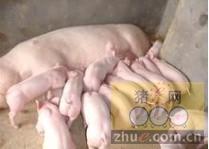 [周]母猪常见疾病的诊治