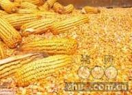 [周]当前或为华北玉米最佳采购时机