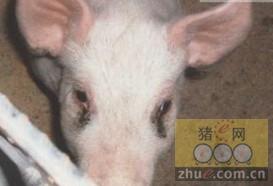 [周]造成猪有泪斑的三个原因分析