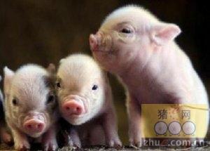 [周]仔猪生长慢 解决有办法