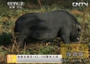 大河乌猪的养殖技术
