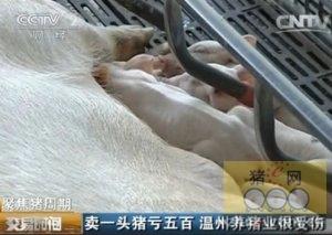 聚焦猪周期:卖一头猪亏五百 温州养猪业很受伤