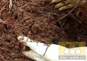 发酵床养猪垫料养殖蚯蚓好处多