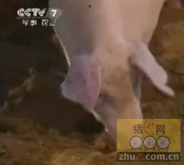 EM菌养猪发酵床减少猪圈臭味技术视频