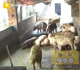 坚强的养猪场