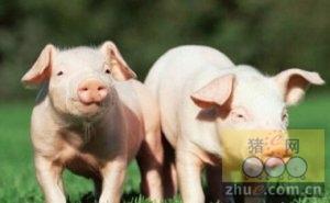 1月14日猪市行情