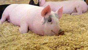 元旦过后黑龙江省绥化市生猪价格连续三周明显上涨