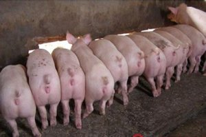 4月18日安徽省猪市行情信息