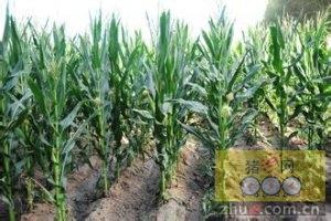8月16日料评:玉米阶