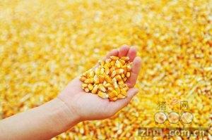 8月25日料评:玉米广