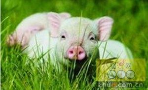 猪瘟蓝耳这俩疫苗到底