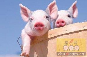 猪场生态科技!猪也住进了楼房,这待遇没谁了