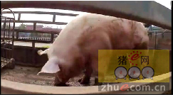主人靠这头600多斤的种猪,一天收钱收得手软!