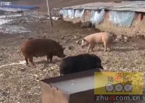 养猪用上无人机,这么高端你绝没见过,三十分钟开始!