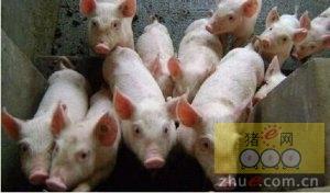 警惕猪链球菌、副猪嗜