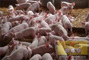 猪场如何防治仔猪低血