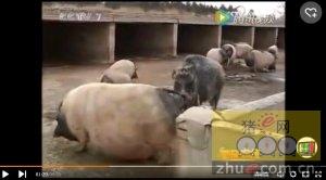 敢和熊斗的野猪和香猪杂交 创造非凡财富!