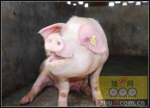浅谈规模化猪场咳喘喘