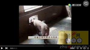 养猪技术-后备公猪的挑选与喂养
