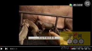 养猪技术-初生仔猪的喂养技术