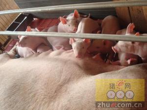 如何挑选后备母猪和后
