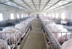 走访浙江、福建、山东地区饲料公司对生猪