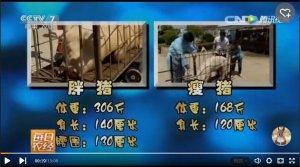 喂了8个多月的猪才涨到80公斤?挣钱不……