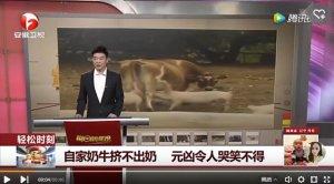 自家奶牛挤不出奶 元凶竟然是猪 真是令人哭笑不得