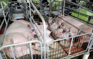 在产房里如何平衡大猪