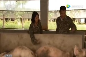 农户养猪每个月产出猪胎盘二百多个,用来喂中华鳖,避免污染