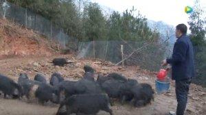 雪峰山的散养黑猪! 散养 圈养混合养