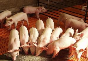 中药无抗养猪不靠谱?