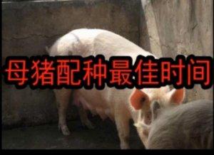 母猪配种最佳时间是?提高母猪受胎率和猪场生产力!