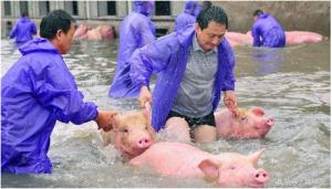 养猪遭遇 猪价暴跌+猪