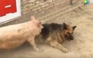 猪狗大战,牧羊犬落荒而逃,母猪大胜!