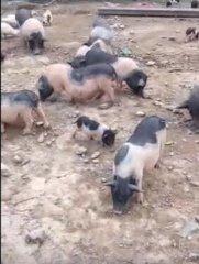 大山上的养猪人,腿短肚大个子低,一斤肉好几十块钱