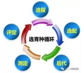 温氏:种猪育种工作及体系构建的技术要领