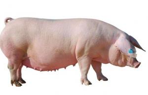 种猪及后备猪的饲养管理要点,每个养猪的