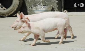 保育猪的饲养管理是怎样的?