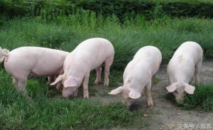 猪价跌回7元以下,7月份生猪价格还有机会吗?下半年猪价是大涨还大跌?养殖户需谨慎!