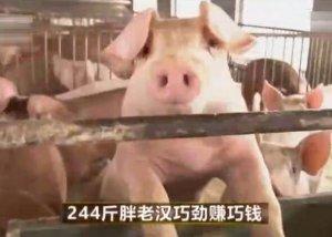 身残志坚,胖老汉巧用椰棕给猪做床垫,猪价值立马飙升千万!