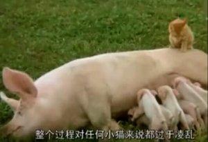 牛喂猪吃奶、猪喂猫吃奶、猫喂狗吃奶,贵圈太混乱了