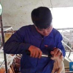 仔猪磨牙断尾,这个小伙子给大家演示--磨牙器操作过程