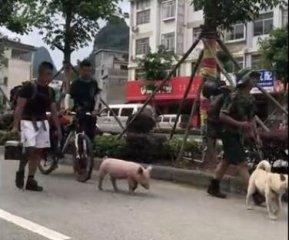 带着小猪徒步旅行,这是移动的烤乳猪吗?