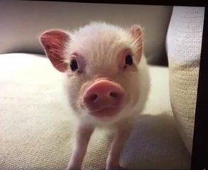 """这只宠物猪,成了""""网红""""~它有什么特殊技能呢?"""