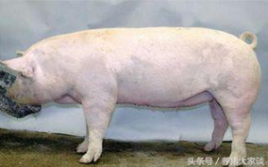 老猪倌用30年养母猪的经验教你选择优秀种